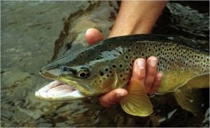 Big-Brown-trout-in-hand[1]